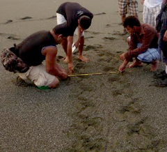 Measuring Turtle Tracks on Piro Beach