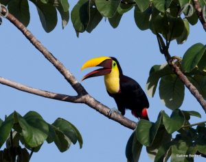 friends of the osa Chestnut-mandibled Toucan on osa peninsula copywrite Sabine Bernert 2010