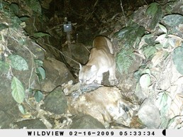 Camera Trap Photo of Jaguar eating a sheep on Osa Peninsula