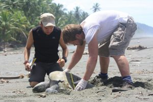 Volunteers working with sea turtles on the Osa Peninsula, Costa Rica
