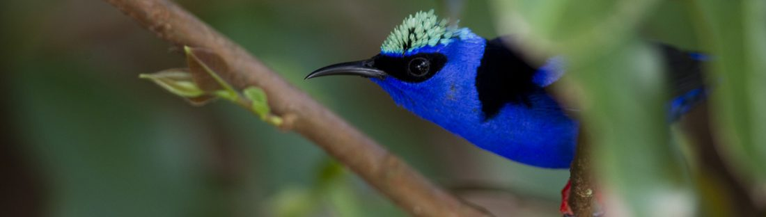 Red Legged Honeycreeper © Roy Toft