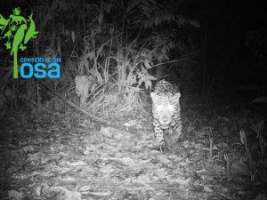 Foto de trampa cámara 2017 de un jaguar en la propiedad de Conservación Osa