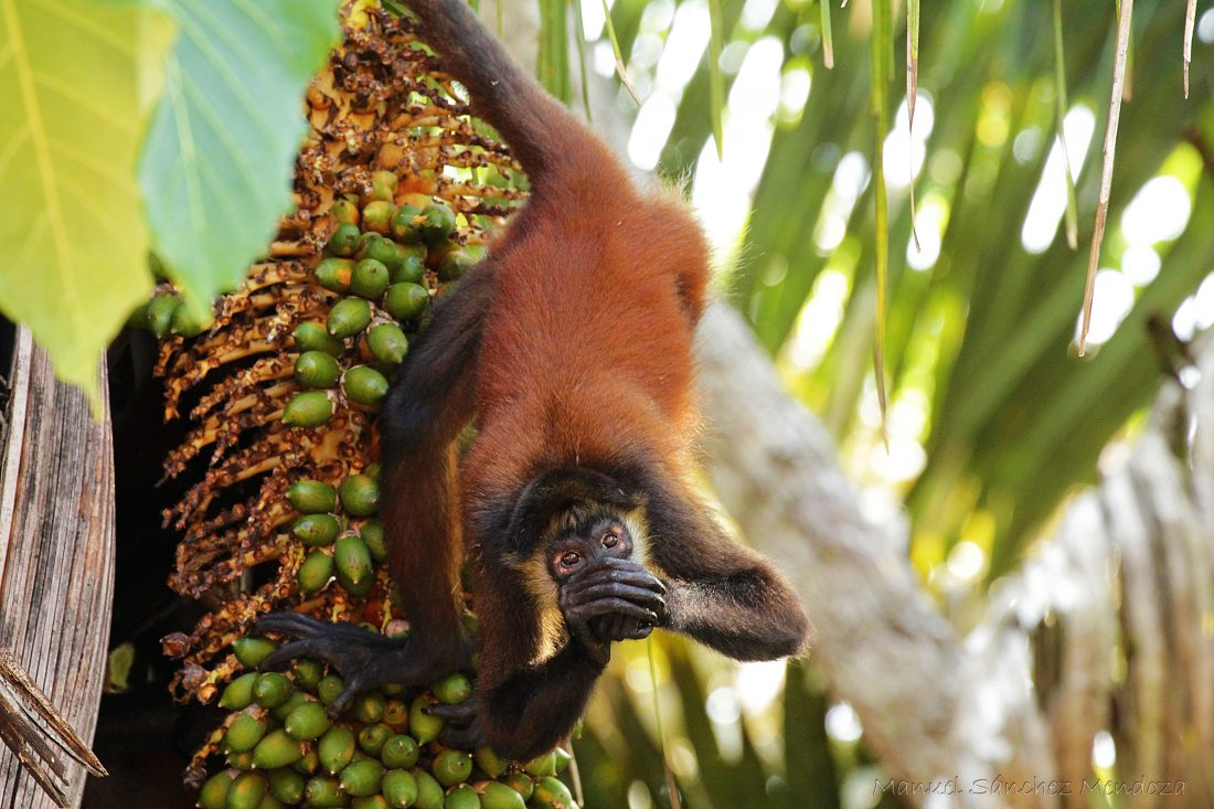 A Central American Spider Monkey (<em>Ateles geoffroyi</em>); photo by Manuel Sánchez