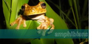 amphibians, wildlife in the osa