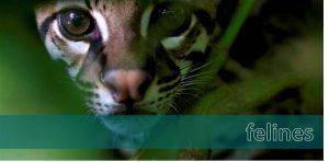 felines, wildlife