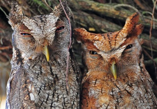 Dahl_Vermiculated Screech Owl Pair