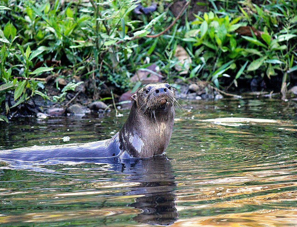 Otter in the Piro River, Photo Credit: Manuel Sánchez.
