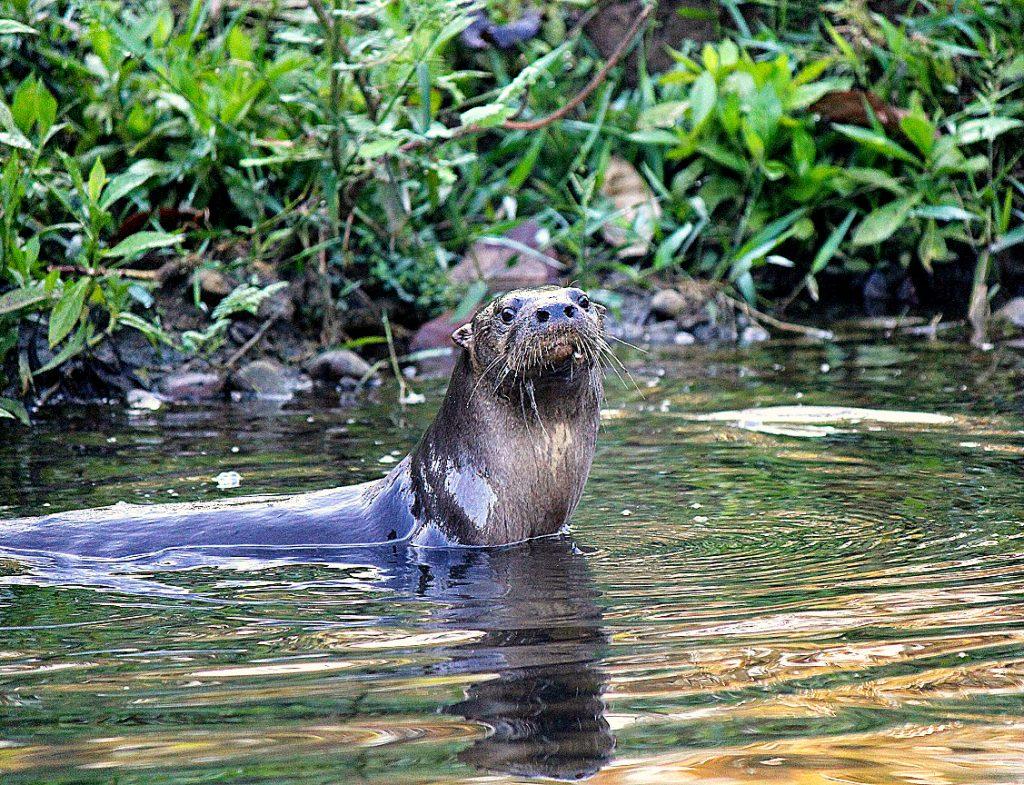 Nutria en el río Piro. Foto Por: Manuel Sánchez.