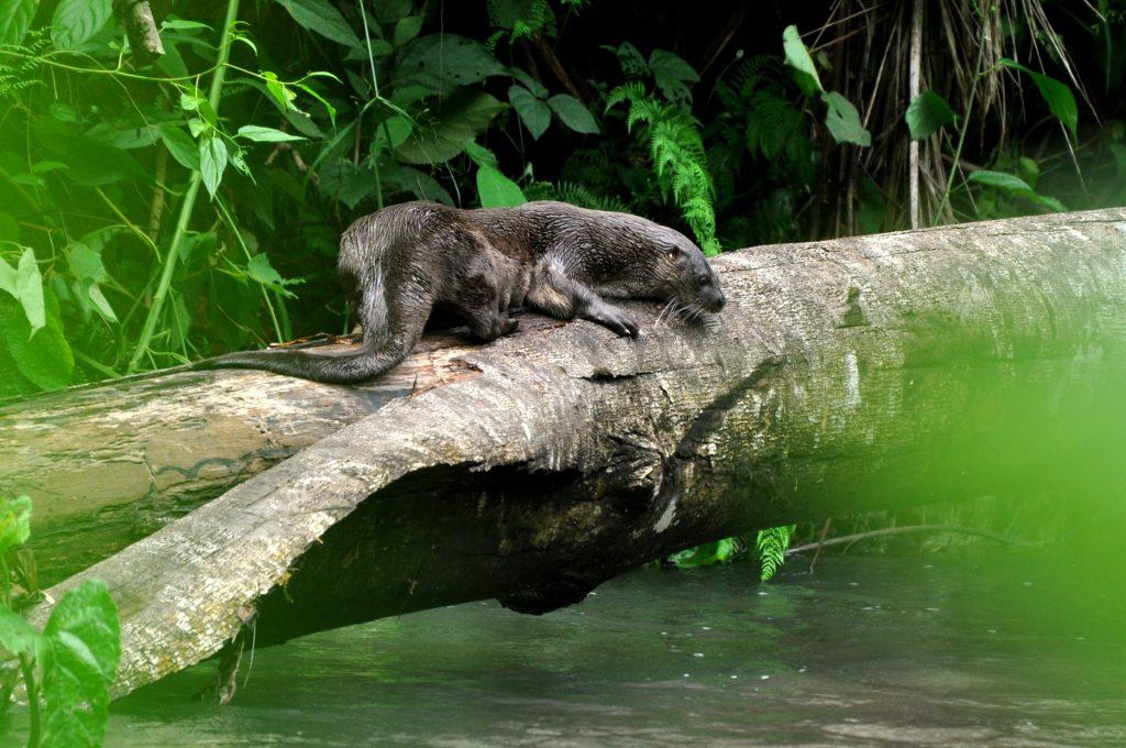 Nutria de río descansando sobre tronco en el río Piro. Foto Por: Juan Carlos Cruz.