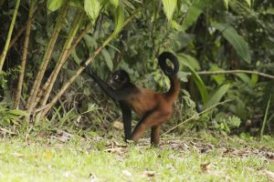 A Spider Monkey Foraging for Food.