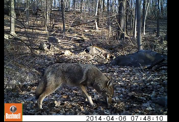 Another coyote caught in action.