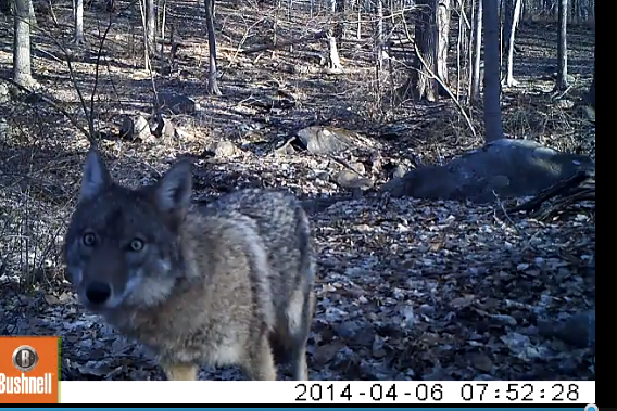 A close-up of a coyote slinking around.
