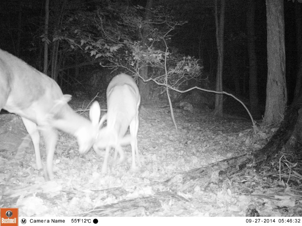 Two male deers fight for territory.