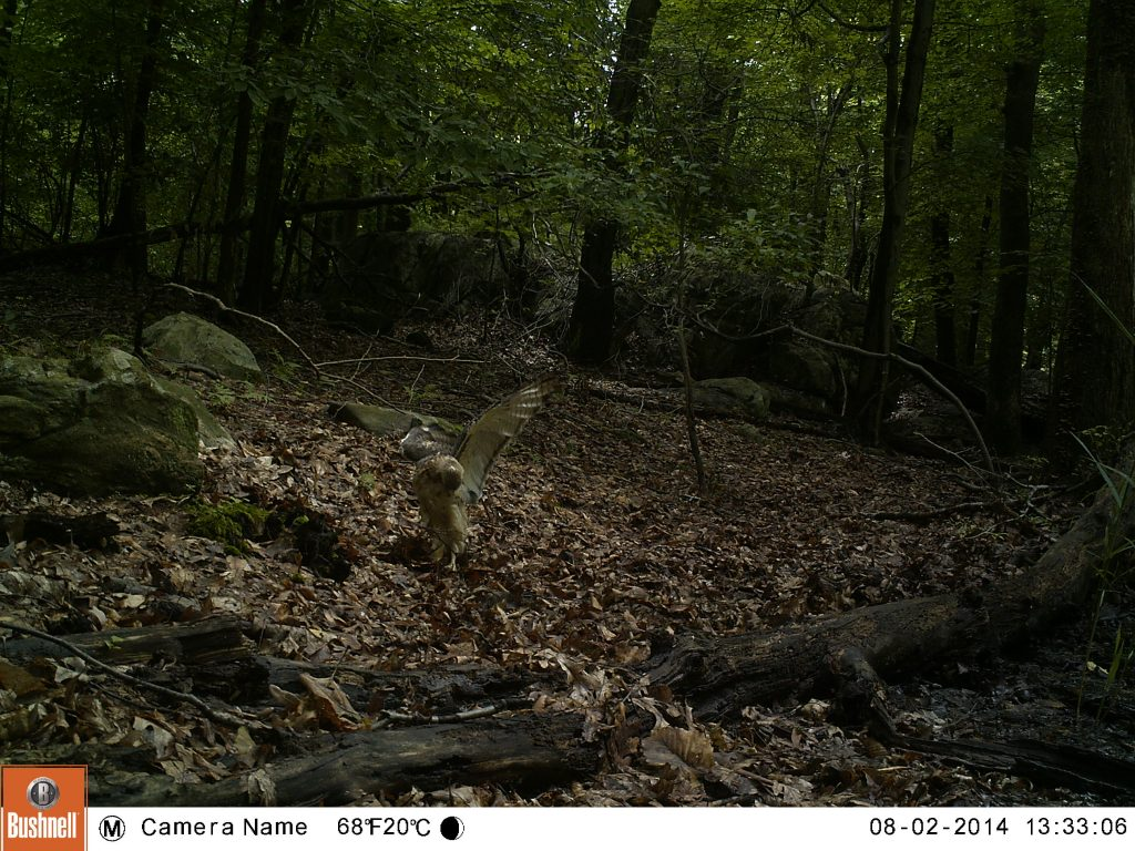 This hawk exhibits rare behavior on the ground just long enough to get caught on camera!