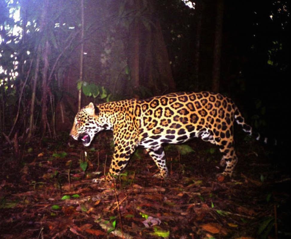 Big Cat Volunteering in Costa Rica