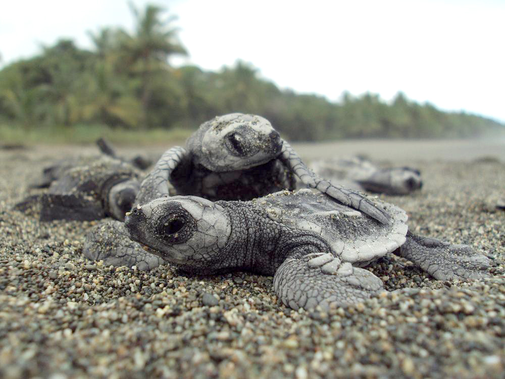 turtle-hatchling-copy