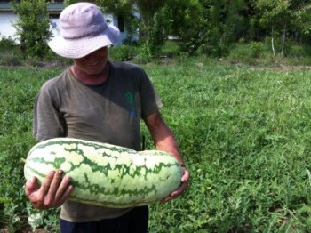 huge watermelon, sustainable agriculture, organic