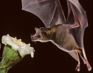 Long Nosed bat