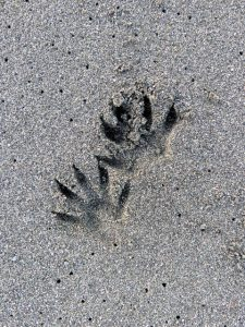 raccoon tracks2