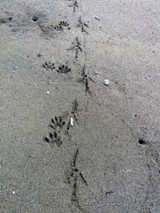 vulture and raccoon tracks