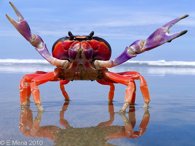 halloween-crab-forblog - Osa Conservation