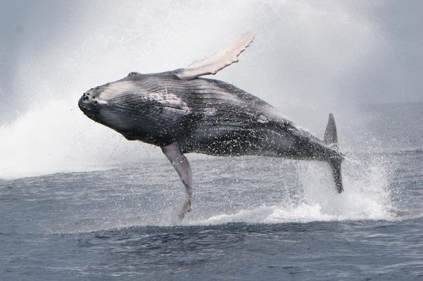 2016: Amazing moment a huge humpback whale launches itself out of the water.