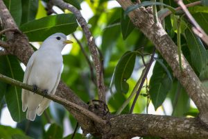 Yellow Billed Cotinga