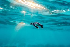 baby-turtle-heron-island-australia-adapt-590-1