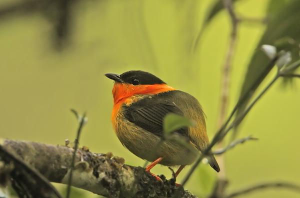 2012: Birding the Osa Peninsula, Costa Rica