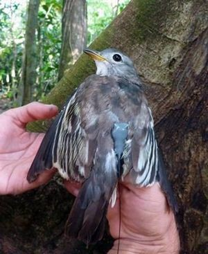 Rare Costa Rican birds captured, tagged for study for the first time