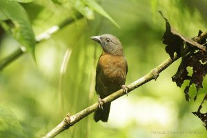 habia-atrimaxillaris-black-cheeked-ant-tanager_lowquality