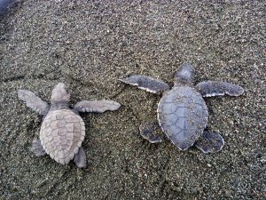 Photo by Marina Garrido, baby sea turtles journey back to the ocean