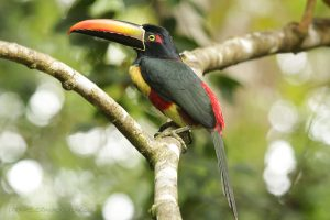 Fiery- billed Aracari / Photo by Manuel Sanchez