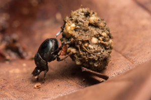 Photo by Nick Hawkins, Dung beetle in action