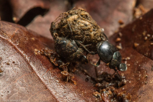Photo by Nick Hawkins, Dung beetle in the Osa peninsula