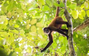 spider-monkey-in-tree