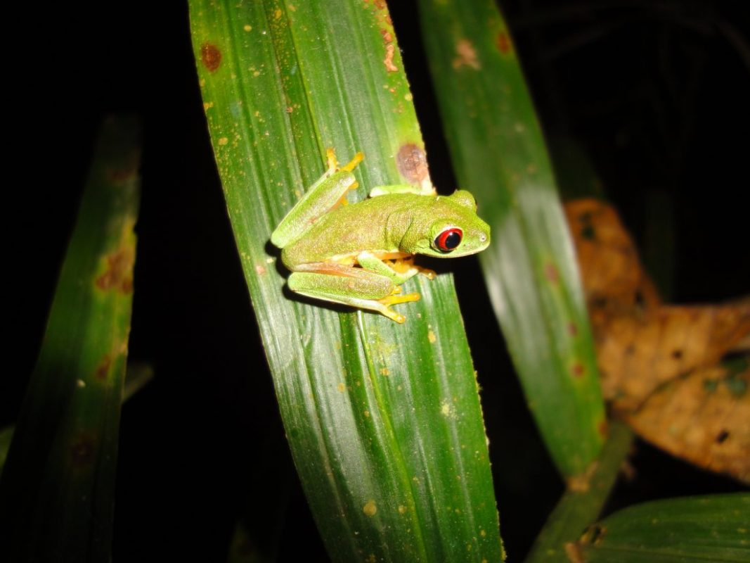 A breeding frenzy of gliding tree frogs! - Osa Conservation