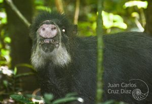 A white-lipped peccary snout