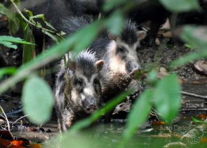 Two white-lipped peccaries