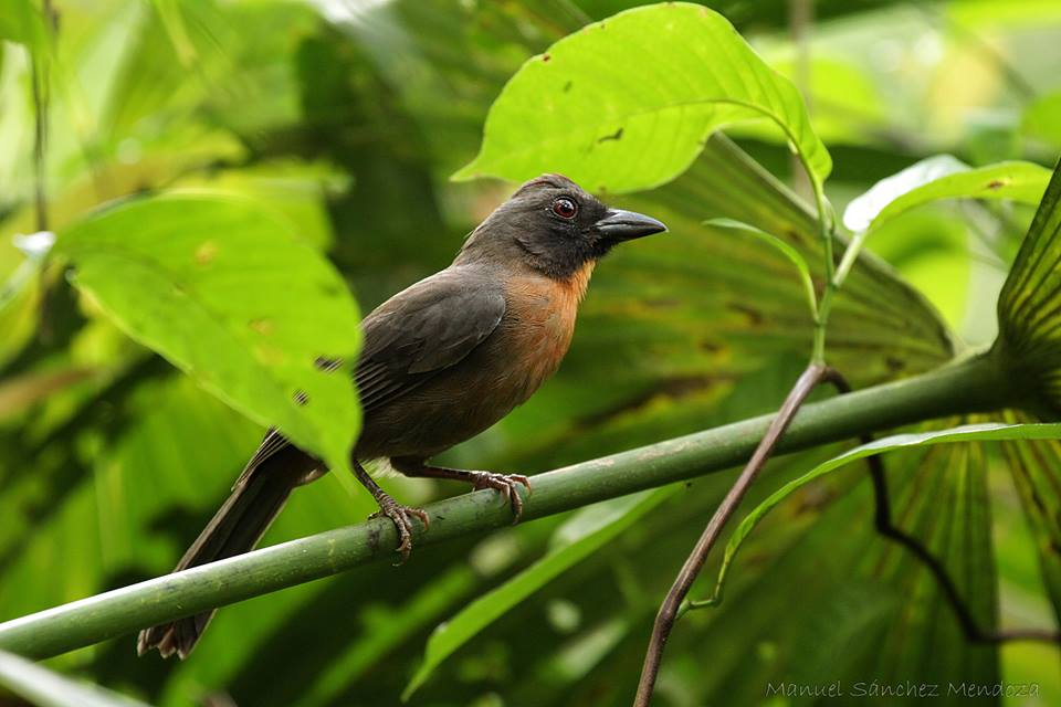 Black-cheeked ant tanager, endemic to the Osa Peninsula; photo by Manuel Sanchez