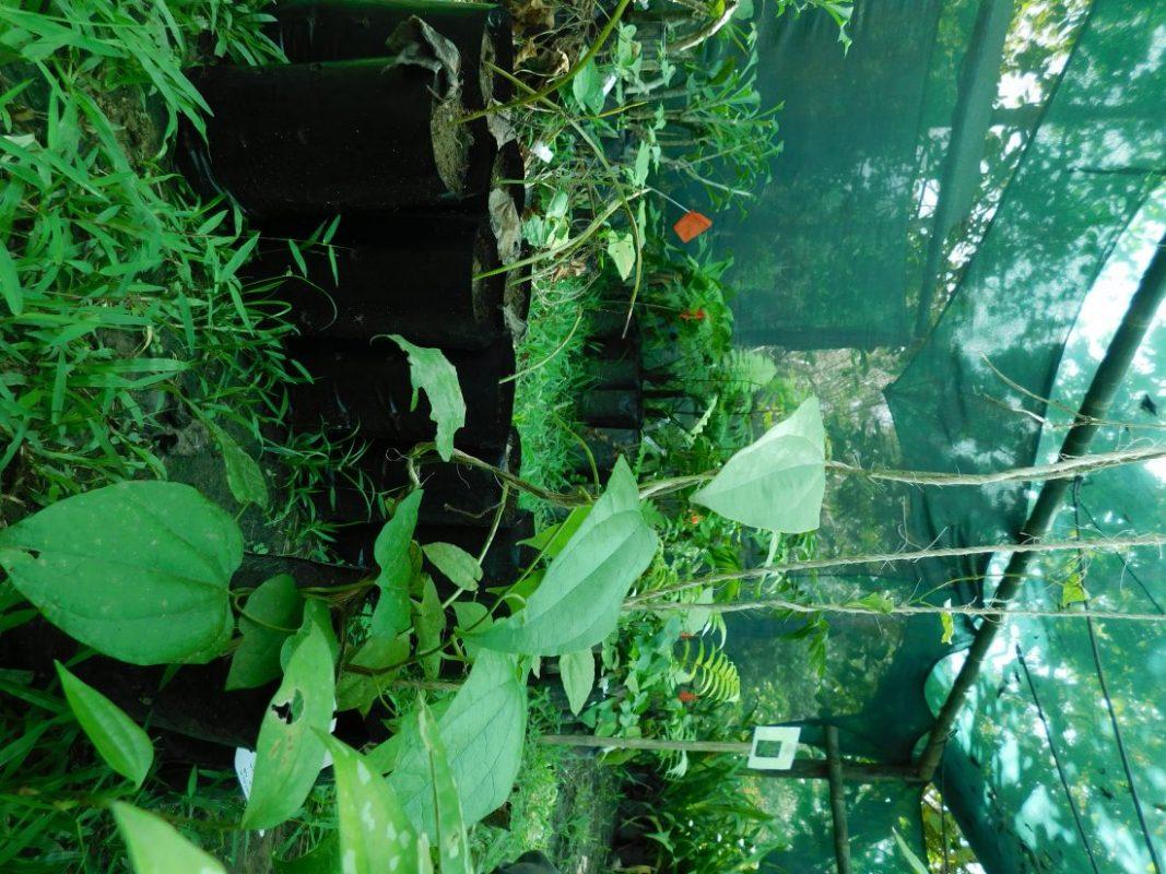 Birthwort family (Aristolochiaceae) section in the nursery.