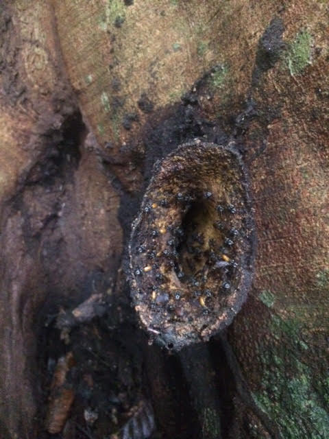 Sydney's favorite stingless bee nest