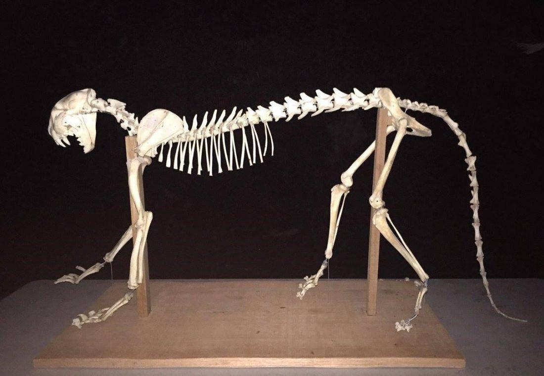 Puma skeleton