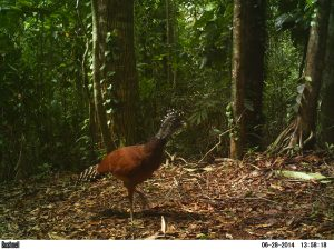 Great Curassow (Crax rubra) caught on an early camera trap in 2014.