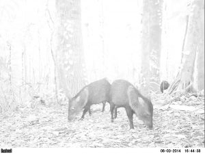 Collared peccary (Pecari tajacu) caught on an early camera trap in 2014.