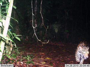 Foto de la primera cámara trampa (2014) de Saladero Ecolodge de un jaguar en la propiedad.