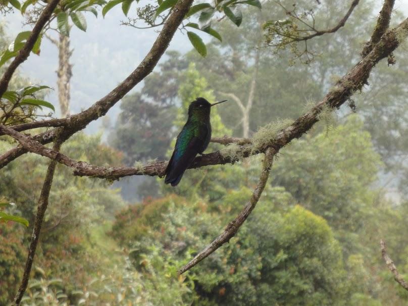 hummingbird-osa