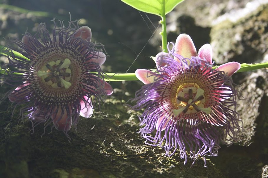 A Couple of Purple Passion Flowers; Photo by Manuel Sanchez