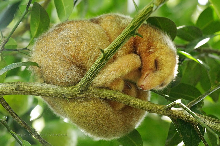 A Serene Sloth Sleeping in a Tree; Photo by Manuel Sanchez