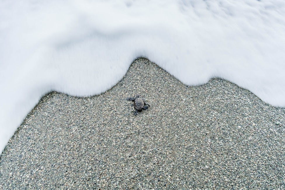 A Released Baby Sea Turtle Reaching the Shore; Photo by Frank Uhlig